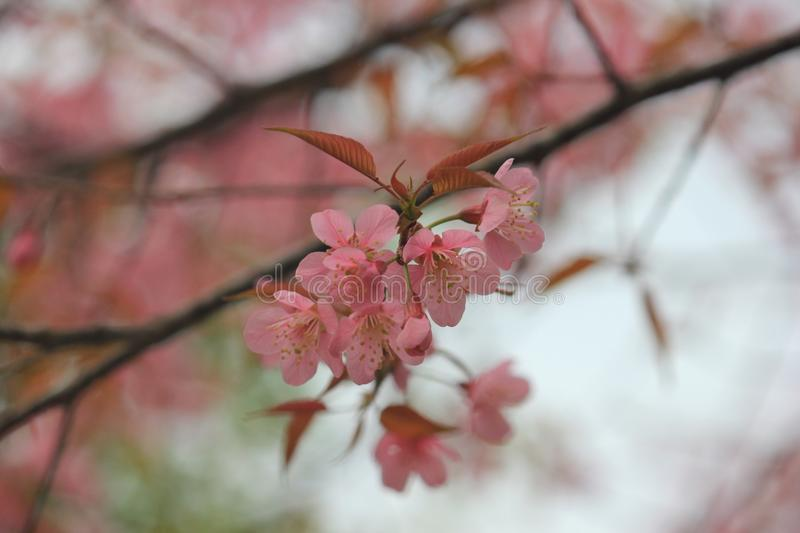 Blossom, Pink, Flower, Cherry Blossom royalty free stock images