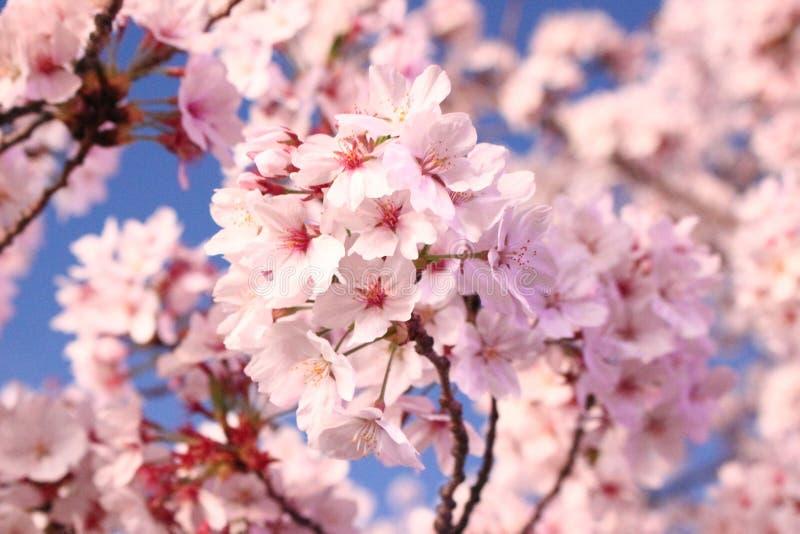 Blossom, Pink, Flower, Cherry Blossom stock photos
