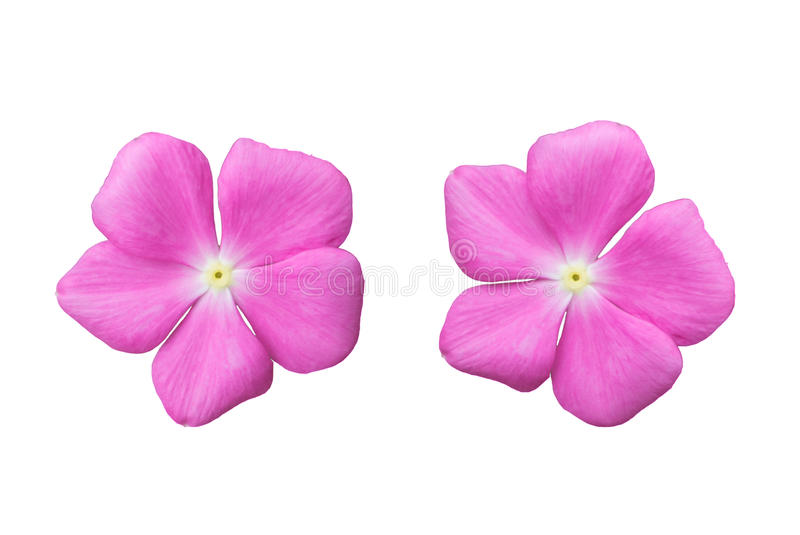 Blossom Pink Flower Isolated On White Background Royalty Free Stock Photos