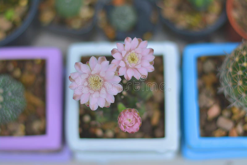 Blossom pink Gymno. When the cactus bloom It is beautiful and wonderful stock photography