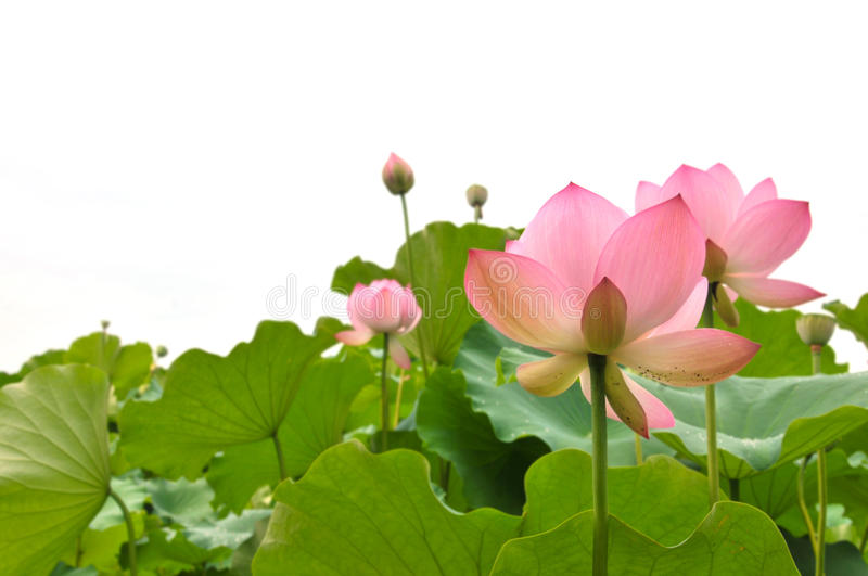 Blossom pink lotus flowers. Against the white background stock photos