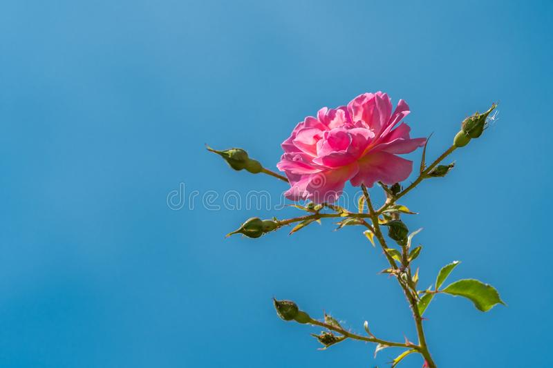 Blossom of a pink rose on a sunny day in summer royalty free stock photo