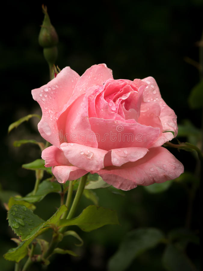 Blossom of a pink rose with water drops royalty free stock image