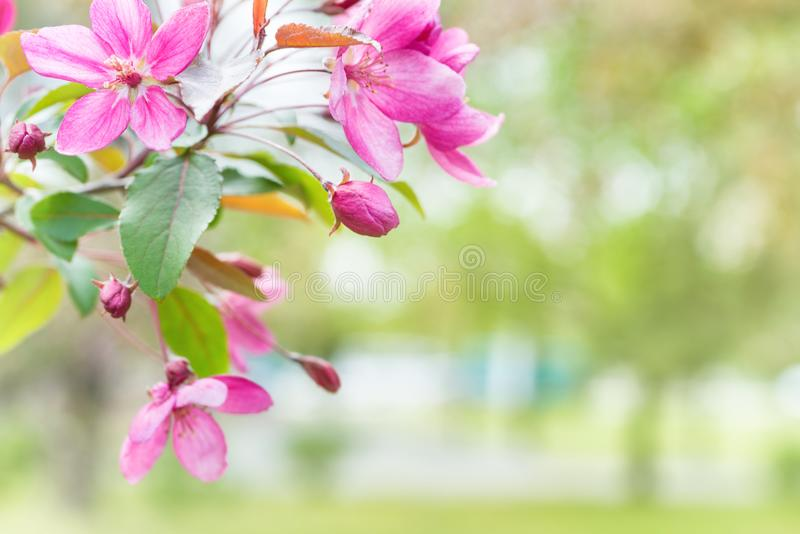 Blossom of pink sakura flowers stock photography