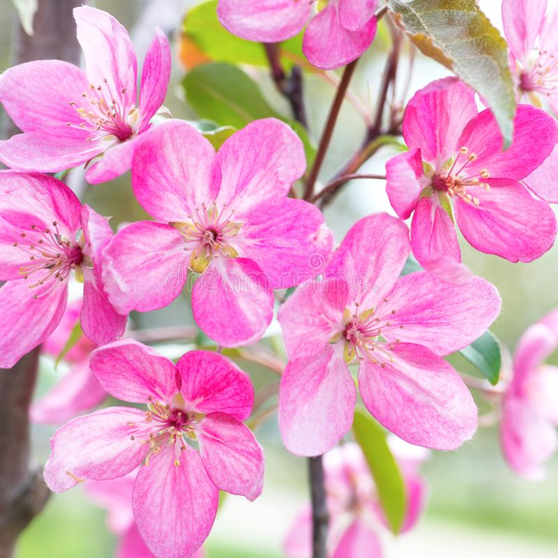 Blossom of pink sakura flowers stock photo