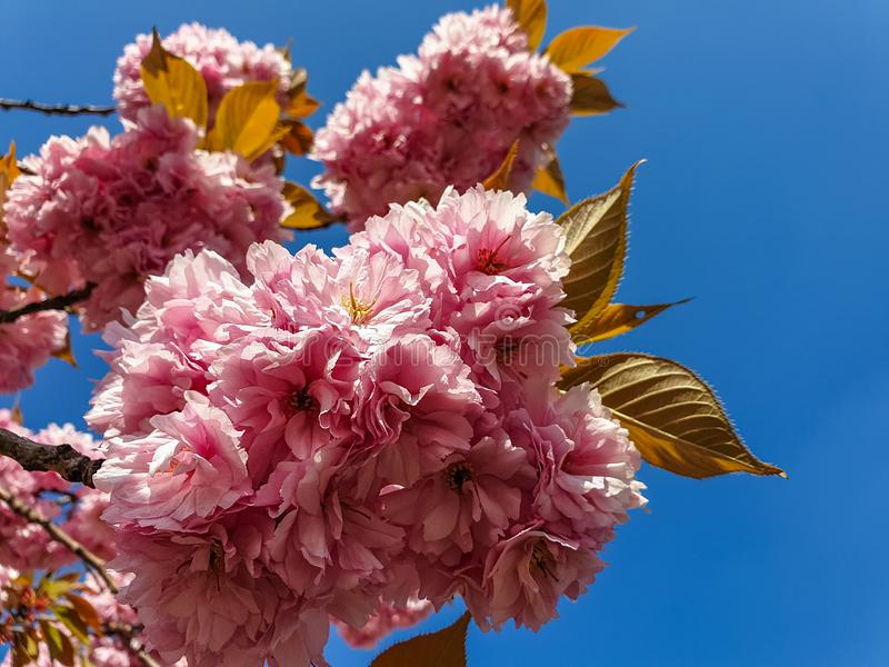 Blossom of pink sakura flowers on a cherry tree branch in spring. Macro close up shot royalty free stock image