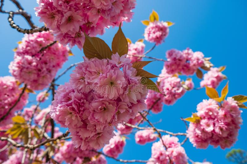 Blossom of pink sakura flowers on a cherry tree branch in spring. Macro close up shot stock photo
