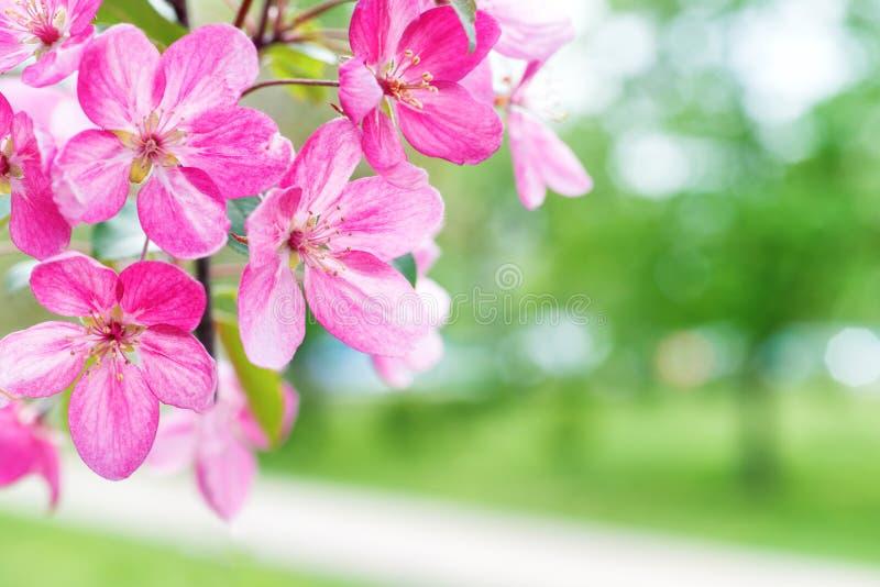 Blossom of pink sakura flowers royalty free stock photo