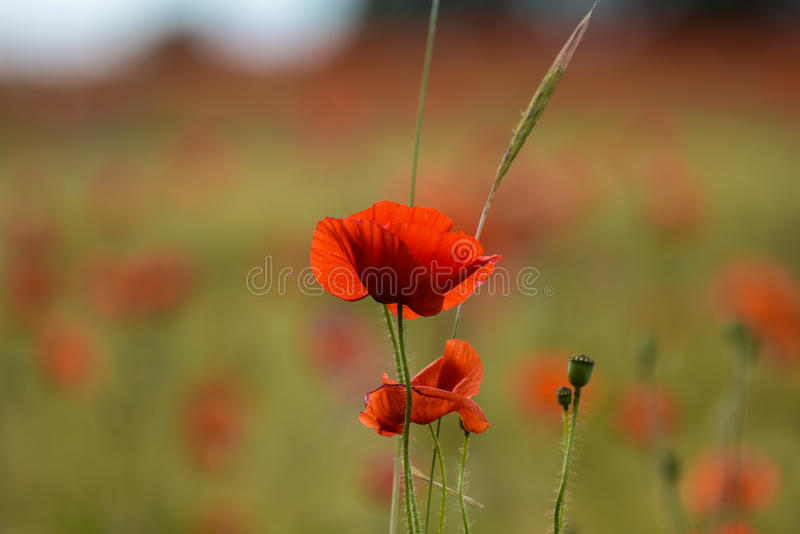 Blossom of a Poppy Flower. In front of a field stock photography