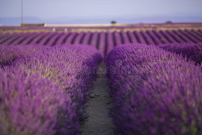 Blossom purple lavender field in summer landscape near Valensole. Provence,France stock photos