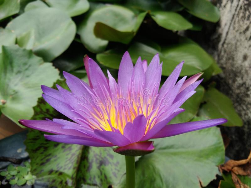 Blossom purple lotus flower, green leaves in pond stock photos
