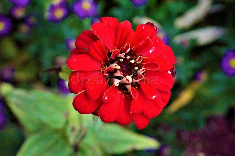 Blossom of red blooming flower probably Zinnia. Blossom of a red blooming flower probably Zinnia stock photo