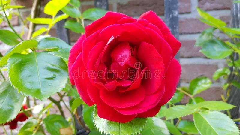 Blossom of an red rose in closeup royalty free stock photography