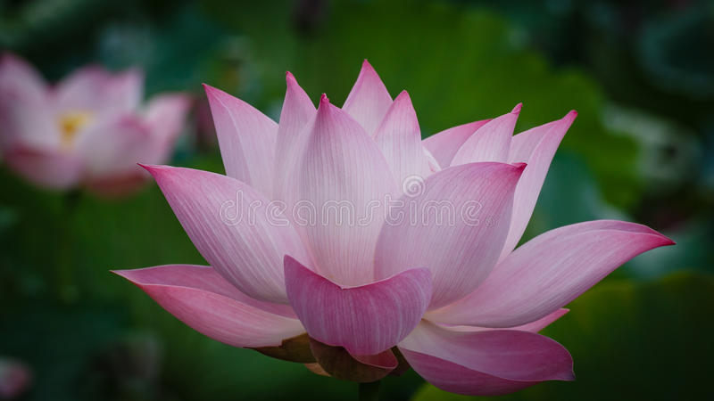 Blossom of Single Lotus stock images