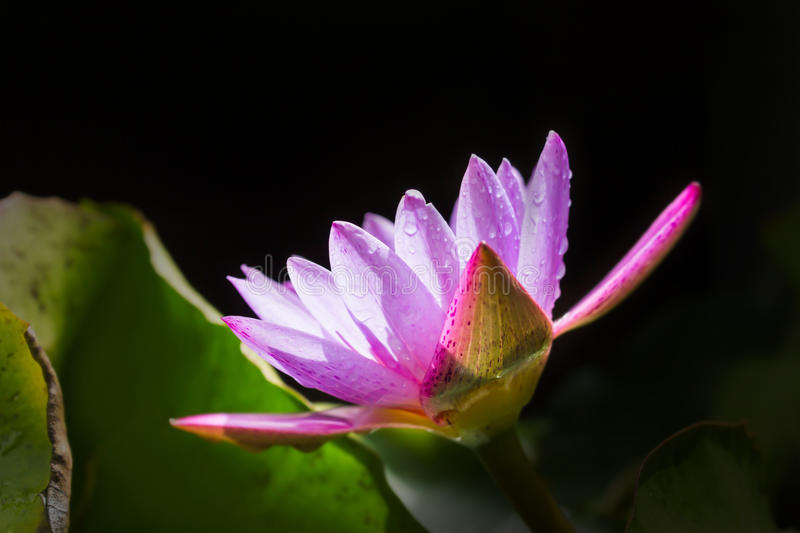 Blossom soft violet purple lotus flower with waterdrop on petal royalty free stock photo