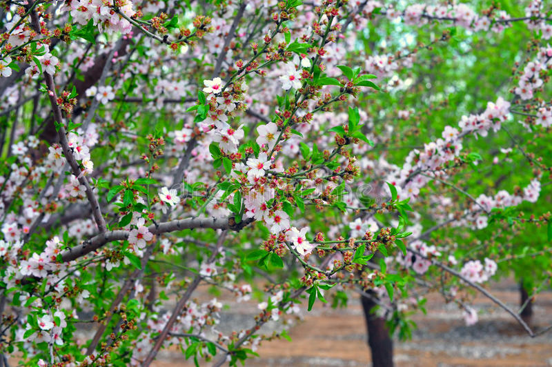 Download Blossom and Spring Time stock image. Image of almond - 27293065