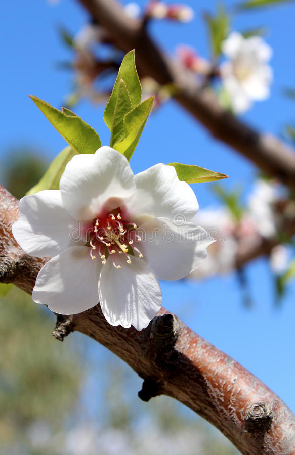 Blossom on sweet almond tree (Species: Prunus amygdalus, syn. Pr stock images