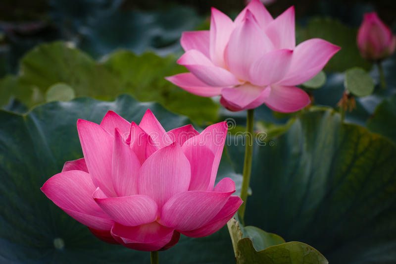 The Blossom Time-lapse of Lotus Flower stock photos