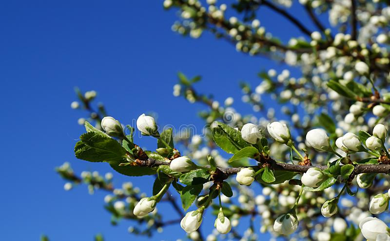 Blossom to aple trees in garden. On background blue sky stock photo