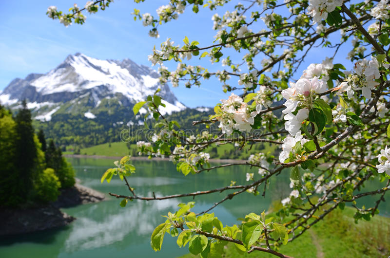 Blossom tree. In spring. Switzerland royalty free stock photo