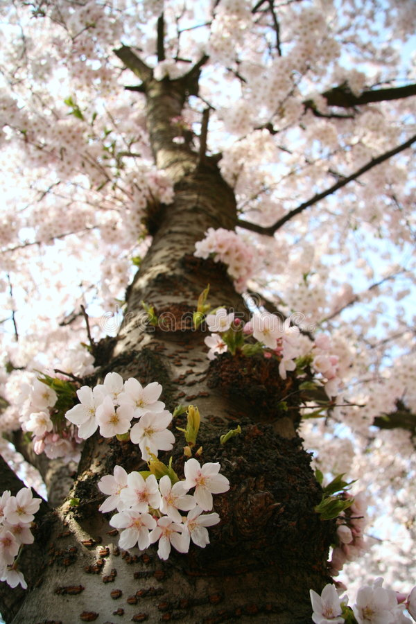 Blossom tree. High rising blossom tree in springtime stock photos