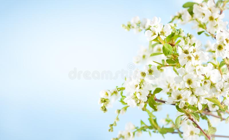 Blossom tree branch with white flowers and green leaves in spring season royalty free stock images