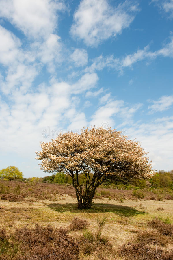 Download Blossom Tree In Heather Landscape Stock Photos - Image: 14333523