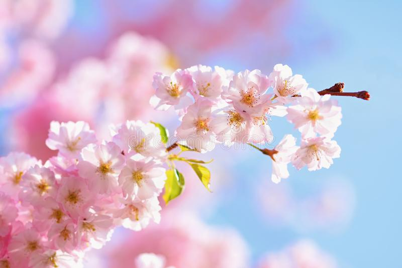 Blossom tree. Nature background in sunny day. Spring flowers. Beautiful Orchard and abstract blurred background. Concept for sprin royalty free stock image