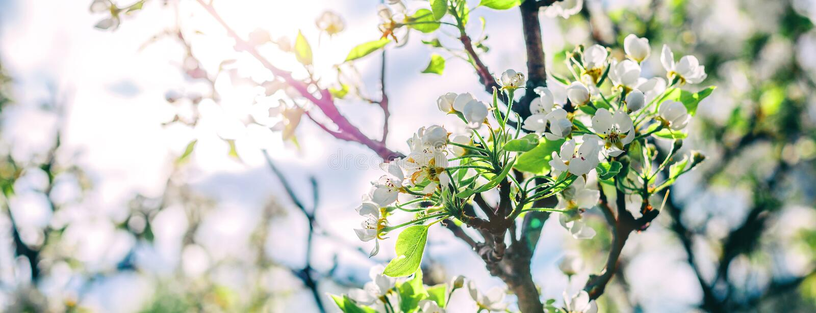 Blossom tree over nature background. Beautiful nature scene with blooming tree, sun and snow. Easter Sunny day. Spring flowers. Springtime. Selective focus stock photos