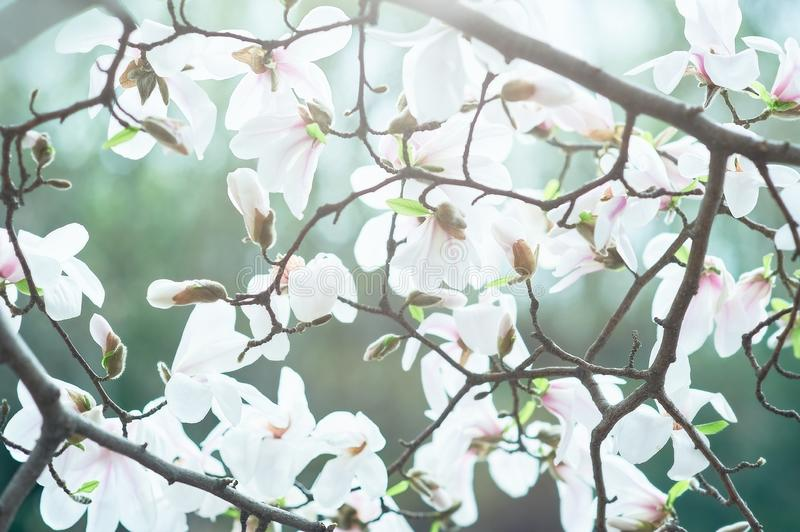 Blossom tree over nature background. Spring flowers. Spring Background. magnolia branch in sunny morning. Beautiful white stock photo
