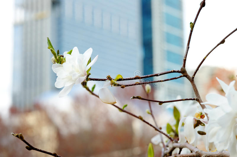 Blossom tree with skyscraper on background. Close up photo of cherry blossom tree with skyscraper on background stock photography