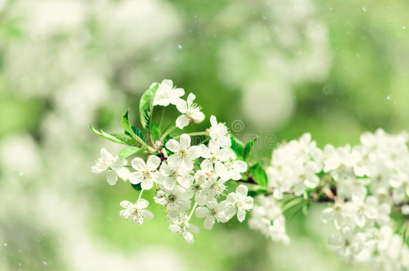 Blossom tree, spring nature background. Sunny day. Easter and blooming concept. Spring flowers with sun rays, copy space. Blossom tree, spring nature background royalty free stock image