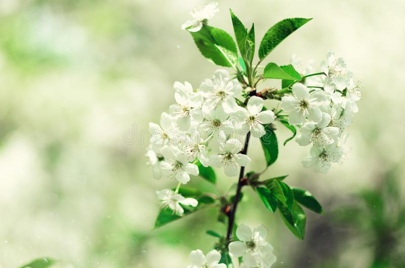 Blossom tree, spring nature background. Sunny day. Easter and blooming concept. Spring flowers with sun rays, copy space. Blossom tree, spring nature background royalty free stock photography