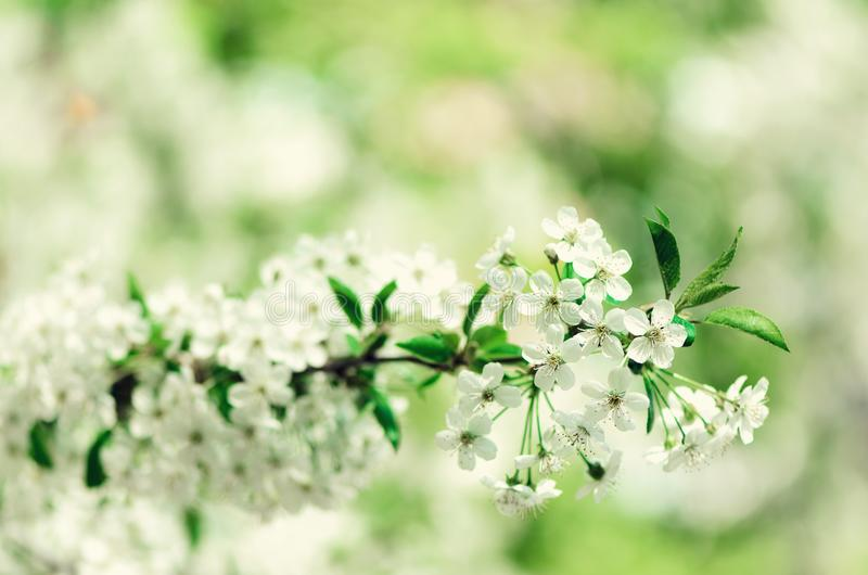 Blossom tree, spring nature background. Sunny day. Easter and blooming concept. Spring flowers with sun rays, copy space. Blossom tree, spring nature background royalty free stock photo
