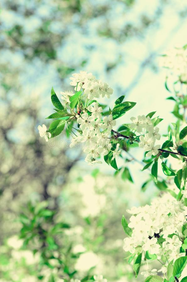 Blossom tree, spring nature background. Sunny day. Easter and blooming concept. Spring flowers with sun rays, copy space. Blossom tree, spring nature background stock photo