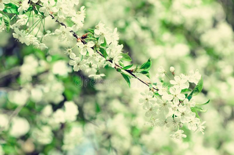 Blossom tree, spring nature background. Sunny day. Easter and blooming concept. Spring flowers with sun rays, copy space. Blossom tree, spring nature background stock photos