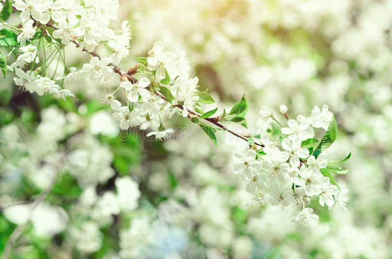 Blossom tree, spring nature background. Sunny day. Easter and blooming concept. Spring flowers with sun rays, copy space. Blossom tree, spring nature background royalty free stock photos