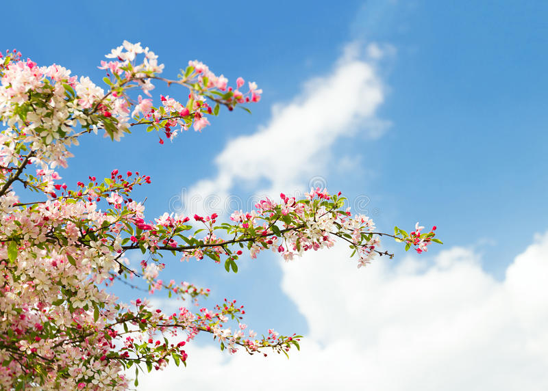 Blossom tree. In spring outdoors stock image