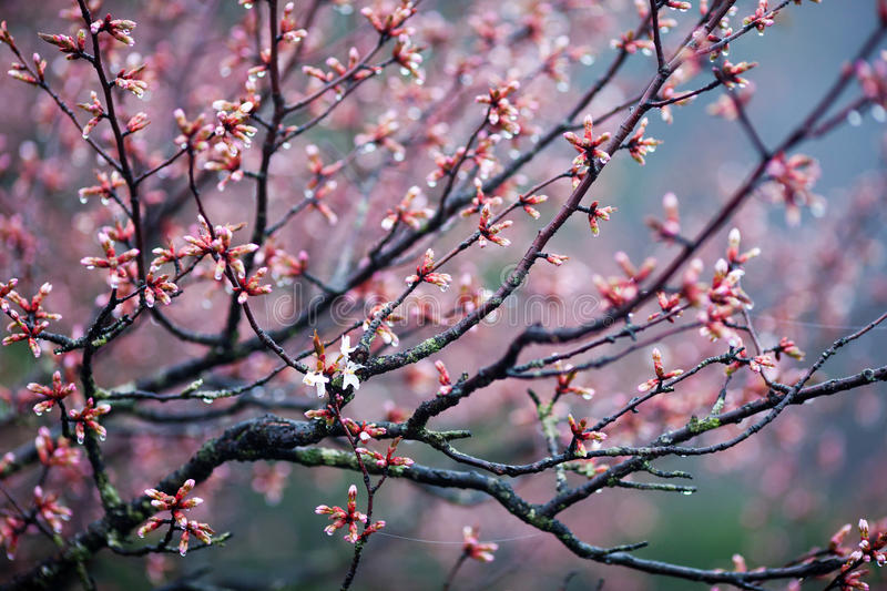 Blossom Tree in spring time. Blossom tree - spring in Huangshan Mountain (Yellow Mountain), China. Of all the notable mountains in China, it is probably the most stock photos