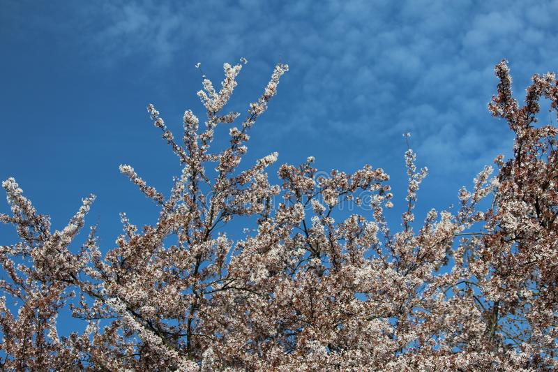 Blossom tree. White flowers blue sky clouds spring royalty free stock images