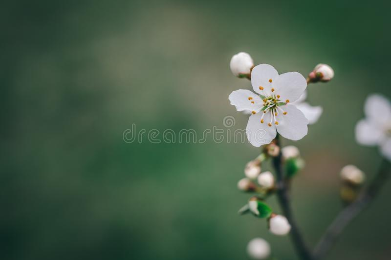 Blossom tree with white flowers over nature background. Spring f stock image