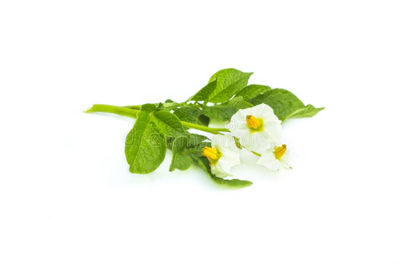 Blossom of potato plant flowers, white flower with green leaves, isolated on white background stock photo
