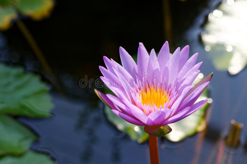 Blossom violet lotus flower in pot. And sunlight stock image