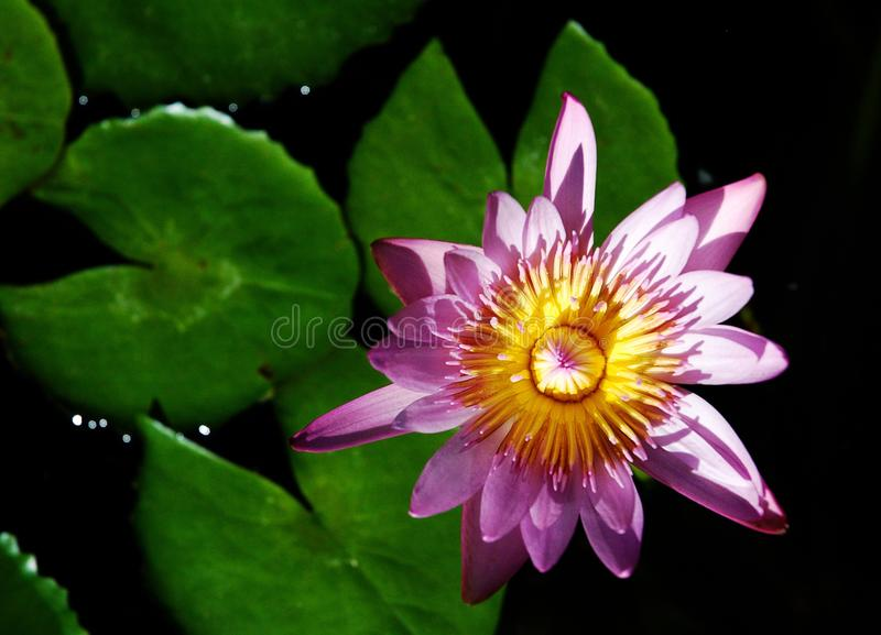 Download Blossom water lotus. stock image. Image of sunlight, floral - 12424183
