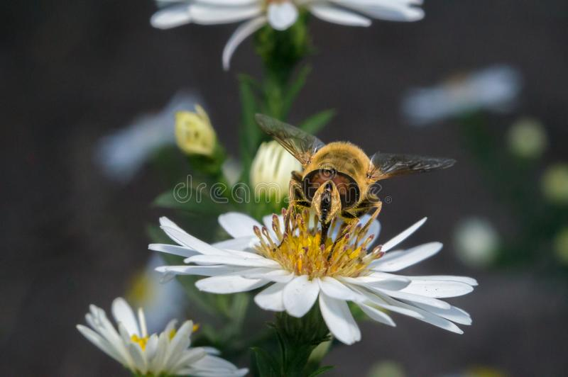 Blossom white flower with bee in the garden. In springtime summer with sun shine stock images