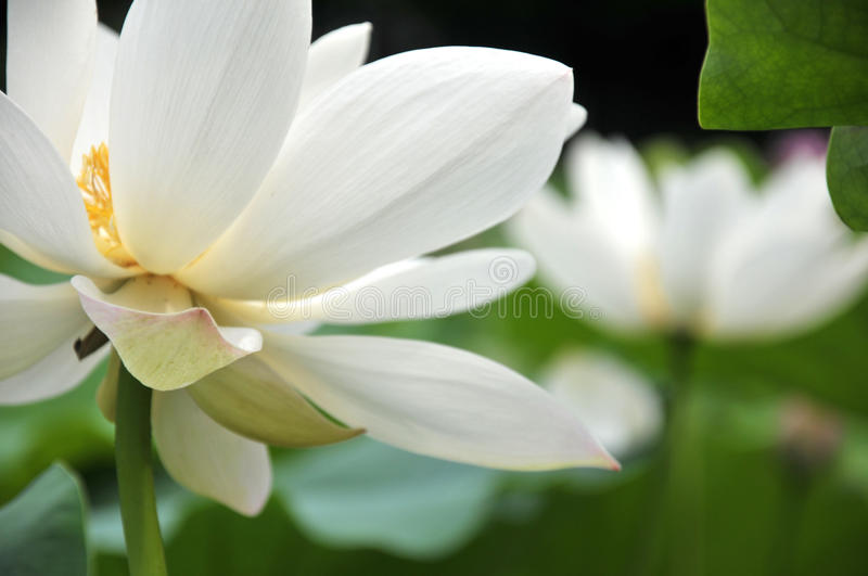 Blossom white lotus flowers. In pond royalty free stock photo