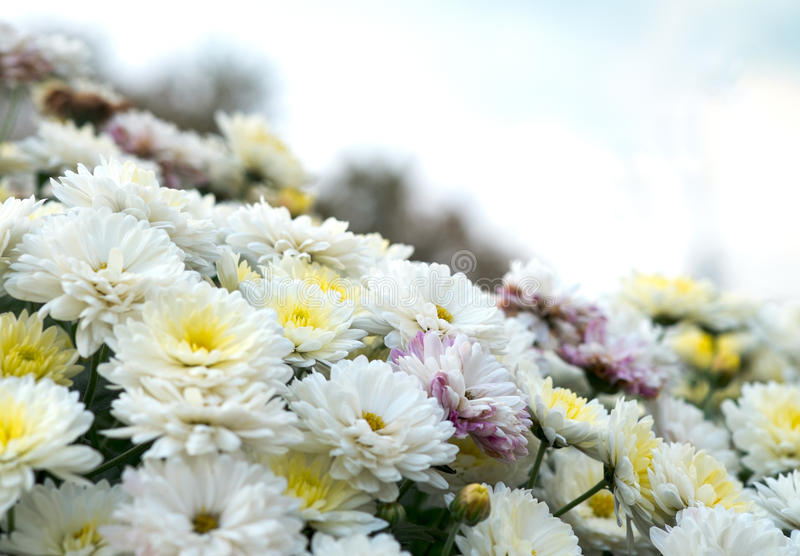 Blossom white, yellow and pink chamomile, chrysanthemum. Abstract floral natural background, spring flowers stock images