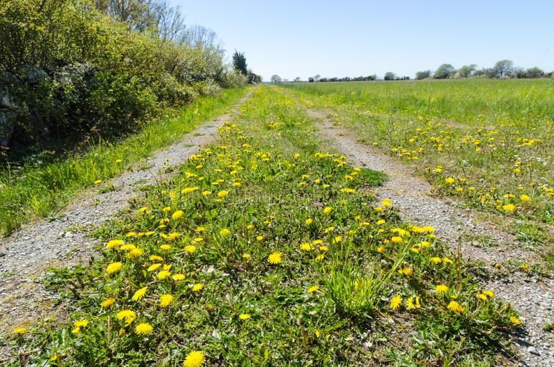 Blossom yellow dandelions in a low perspective image. Low perspective image of a colorful springtime view with yellow dandelions blossom by a country road at the royalty free stock photo
