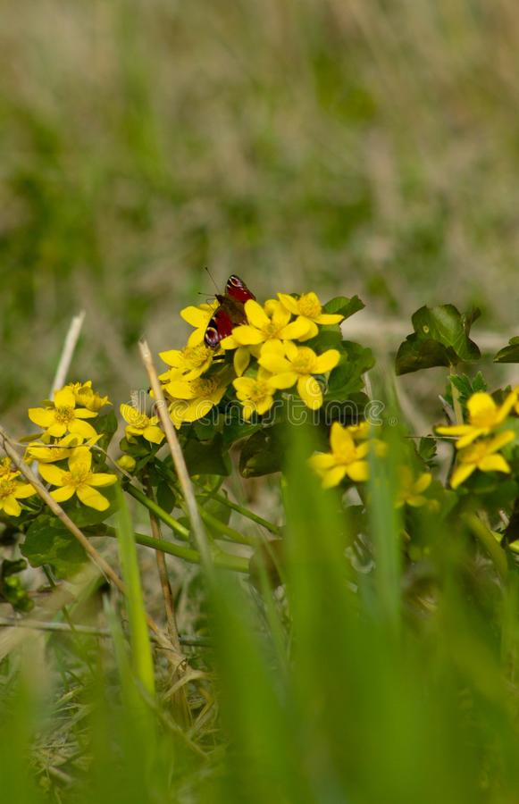 Yellow flowers in the spring royalty free stock photography