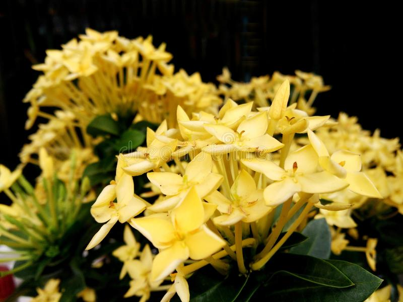 Blossom yellow Ixora, spike flower bouquet on dark background royalty free stock photos